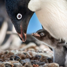 VIDEO: Watch a New Look at Disneynature's PENGUINS