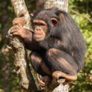 BBC America to Celebrate Chimps with 'Chimpsgiving'