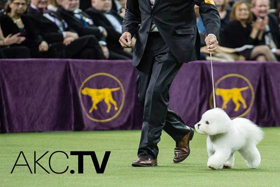 New Digital TV Network AKC.TV Airs 24/7 Content for Dog Lovers