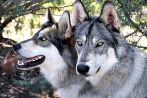 Sedona Wolf Week Returns