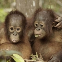 Smithsonian Channel Announces New Docuseries ORANGUTAN JUNGLE SCHOOL Photo