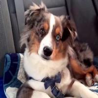 VIDEO: Watch Australian Shepherd Cover FROZEN's 'Let It Go' Canine-Style