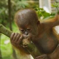 NATURE's The Last Orangutan Eden Set to Air 2/25 at 8pm on PBS