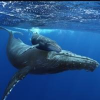 HUMPBACK WHALES Now Showing at AutoNation IMAX 3D Theater in Fort Lauderdale