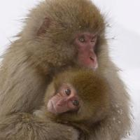 Liam Neeson to Narrate THIRTEEN's Nature Presents SNOW MONKEYS, 4/23