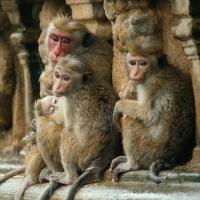 Photo Flash: Sneak Peek - Disneynature's MONKEY KINGDOM to Screen at the El Capitan Next Month