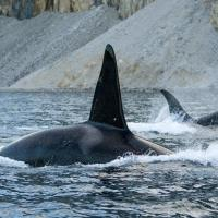 PBS Airs NATURE's Invasion of the Killer Whales Tonight