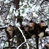 Nature Airs MYSTERY MONKEYS OF SHANGRI-LA Special Tonight