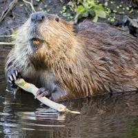 Nat Geo Wild to Present AMERICAN BEAVER Marathon on Groundhog Day