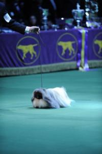 137th WESTMINSTER KENNEL CLUB DOG SHOW to Air From Madison Square Garden, 2/12