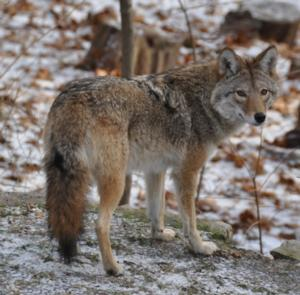 NATURE's Meet the Coywolf to Air on PBS, 1/22