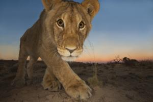 Royal Ontario Museum to Open WILDLIFE PHOTOGRAPHER OF THE YEAR Exhibit, Nov 23