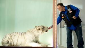 Siegfried & Roy Tiger Mantecore Passes Away at 17 After Illness