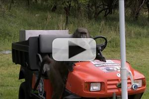 VIDEO: Baboon Steals Spotlight on Golf Channel's Coverage of the Nedbank Challenge