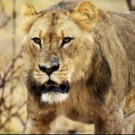 Nat Geo WILD to Present 7th Annual 'Big Cat Week' Beginning 2/20