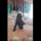 STAGE TUBE: Watch a 3-Year-Old Gorilla at Britain's Twycross Zoo Ballet Dance!