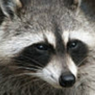 TWITTER WATCH: Ten Terrific Tweets From Central Park's Shakespeare Raccoon