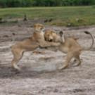 Nat Geo WILD Redefines Wildlife Storytelling with Epic Global Miniseries Event SAVAGE KINGDOM