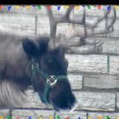 Animal Planet Presents Live 'Reindeer Cam' for the Holidays!