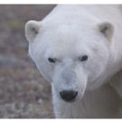 Smithsonian Channel to Premiere New Docuseries POLAR BEAR TOWN, 11/16