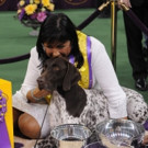 Photo: 'CJ' the German Shorthaired Pointer Wins 'Best in Show' at WESTMINSTER DOG SHOW