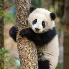 DisneyNature's BORN IN CHINA to Benefit World Wildlife Fund
