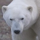 New Smithsonian Channel Series POLAR BEAR TOWN to Premiere 11/16