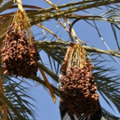 Dates by ALYA FOODS are Sweet, Healthy and Versatile