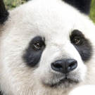 BORN IN CHINA Moviegoers Help Protect Wild Pandas and Snow Leopards