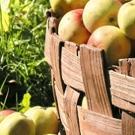 BWW Cooks: Welcome to Apple Harvest Season