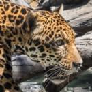 LA Zoo Opens New Jaguars Habitat