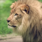 VIDEO: THE LION KING Marks World Lion Day with Visit to the Bronx Zoo