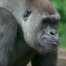 VIDEO: THE LION KING Heads Back to the Bronx Zoo to Visit the Gorillas