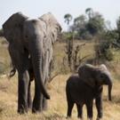 'Naledi: One Little Elephant' Kicks Off NATURE's 36th Season on PBS Photo