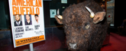 Photo Coverage: Nickel the Buffalo Takes Residence at AMERICAN BUFFALO
