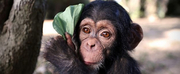 BBC Two Announces BABY CHIMP RESCUE