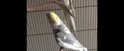 VIDEO: Parrot Sings Queen of the Night From THE MAGIC FLUTE Photo