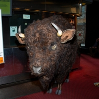 Photo Coverage: Nickel the Buffalo Takes Residence at AMERICAN BUFFALO Photo