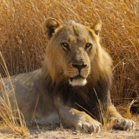Smithsonian Channel to Premiere BIG CAT COUNTRY