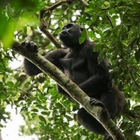 Smithsonian Channel Announces ISLE OF CHIMPS and GORILLAS OF GABON