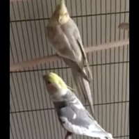VIDEO: Parrot Sings 'Queen of the Night' From THE MAGIC FLUTE Photo