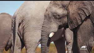 Animal Planet Premieres Three-Part Television Event WALKING WITH ELEPHANTS Dec. 15