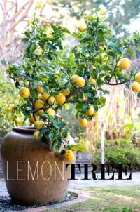 Lemon Tree in Broadway