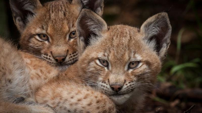 THIRTEEN's Nature to Present 'Forest of the Lynx' on PBS, 4/26