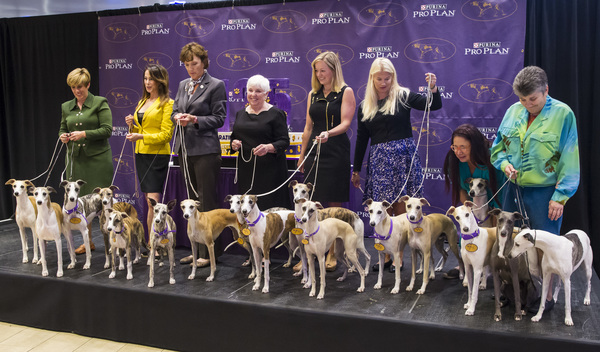 The Whippet breed takes over Madison Square Garden to celebrate the 125th anniversary of their first competition at the Annual Westminster Kennel Club Dog Show.