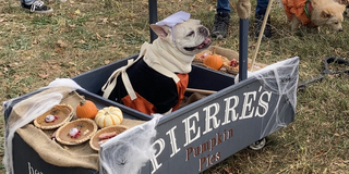 Student Blog: My Favorite NYC Halloween Event, The Halloween Dog Parade Photo